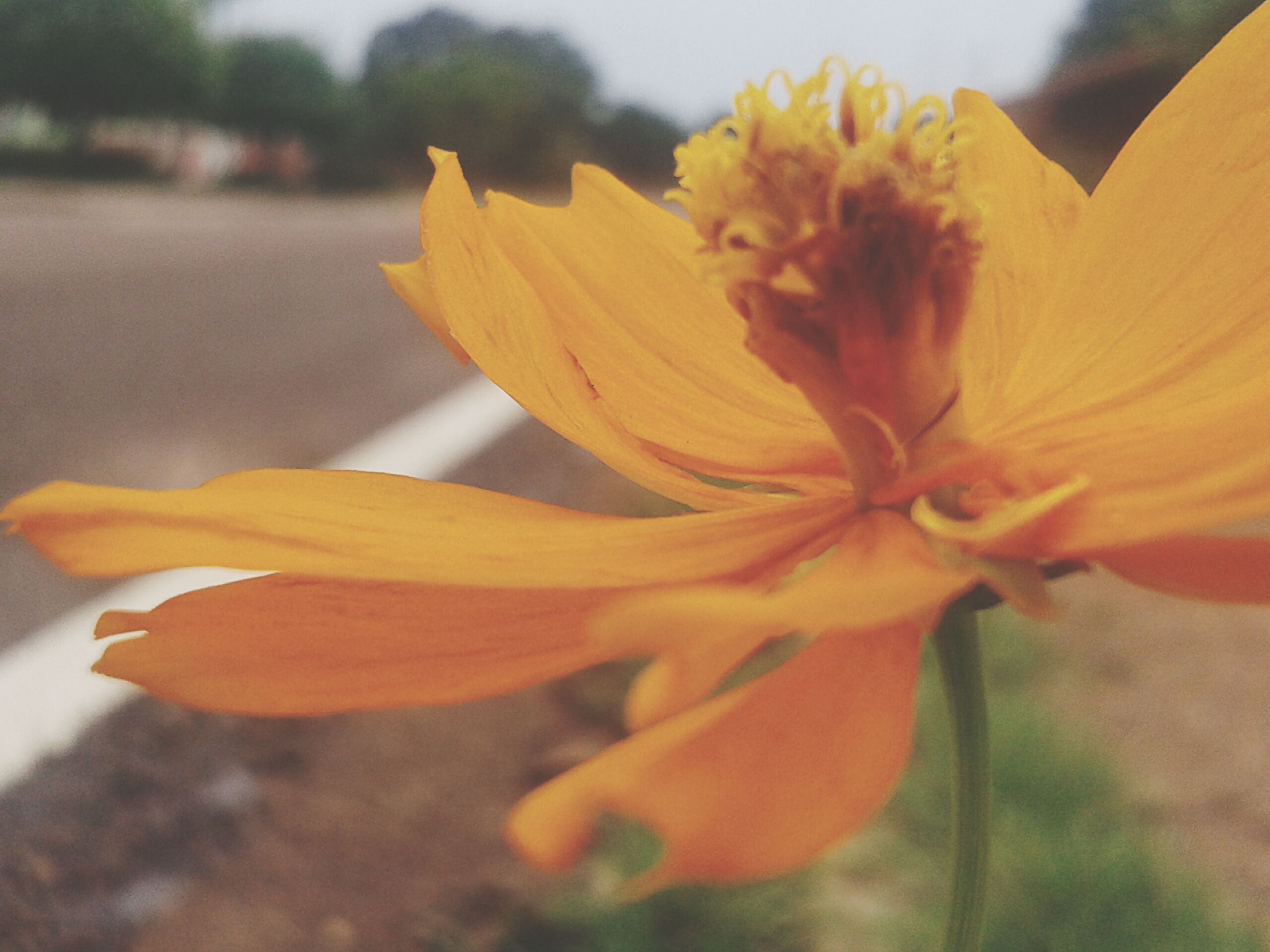 flower, petal, fragility, flower head, freshness, close-up, beauty in nature, growth, focus on foreground, orange color, yellow, pollen, blooming, nature, stamen, single flower, plant, in bloom, selective focus, outdoors