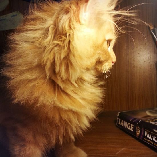 Cute Pets Cute Cats My Pet Ginger Cat #lovely creature
