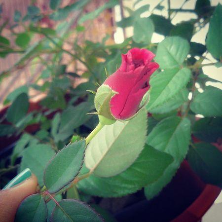 Mekar lah dan buat dunia indahkarna hadirmu Mawar Redrose  Beauty Red love