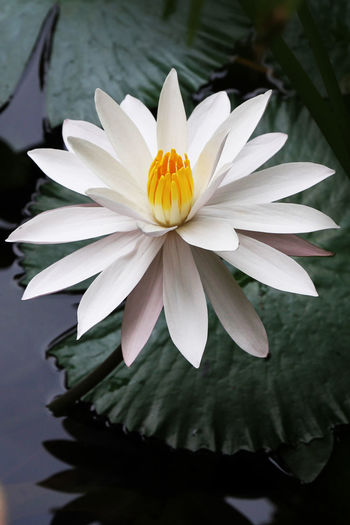 LILY Flowering