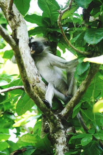 Monkey Zanzibar Leaf Zanzibar Tanzania Leaf Colobus Monkey Animal Themes Animal Tree Plant One Animal Animal Wildlife Vertebrate Branch Primate Mammal Plant Part Green Color Low Angle View Animals In The Wild Outdoors