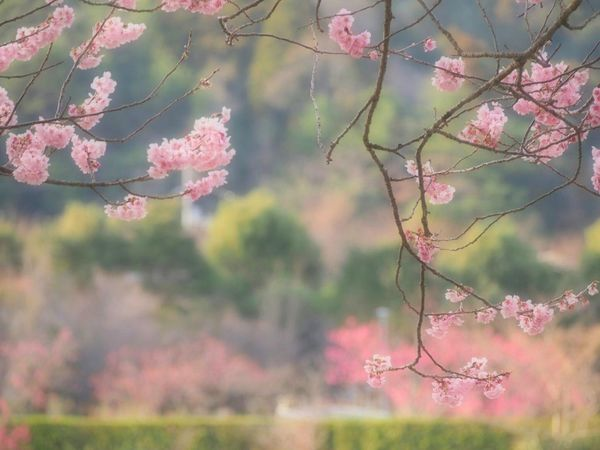 優しい夢を… Spring サクラ 桜🌸 Taking Photos Pink Flower Flower Collection Flower Nature EyeEm Nature Lover My Point Of View Eyemphotography EyeEm Gallery 好きな場所 Springtime EyeEm Best Shots Blossom