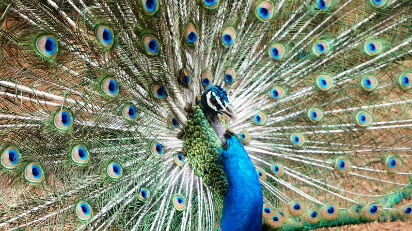 Sometimes the most beautiful things happen just like that, so never miss a moment, capture everything beyond the boundaries Peacock Peacock Feather Feather  Fanned Out Blue One Animal Bird Showing Animal Wildlife Animal Themes Multi Colored Full Frame Pattern Beauty Close-up Beauty In Nature Animals In The Wild Nature Vanity Day SonyAlpha6000 Nwin Photography True Colors