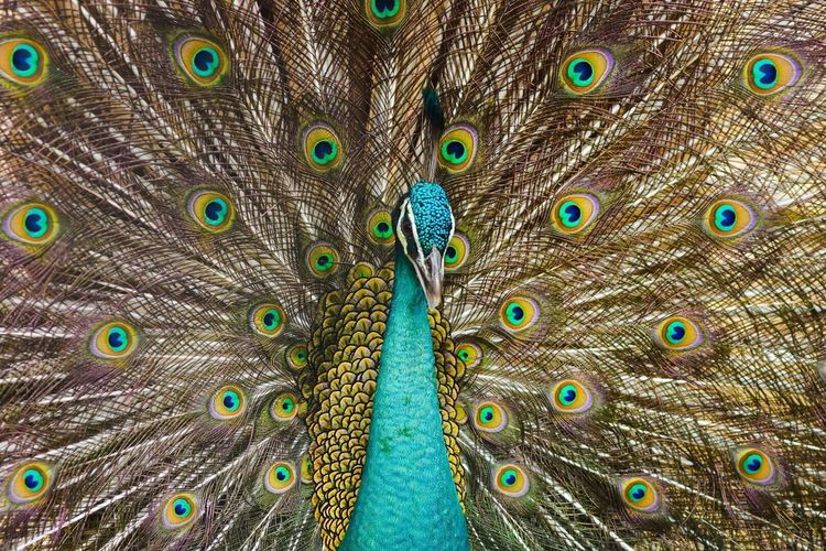 Peacock Bird Peacock Feather Fanned Out One Animal Feather  Animal Wildlife Animals In The Wild No People Animal Themes Beauty In Nature Outdoors Day Nature Backgrounds Close-up