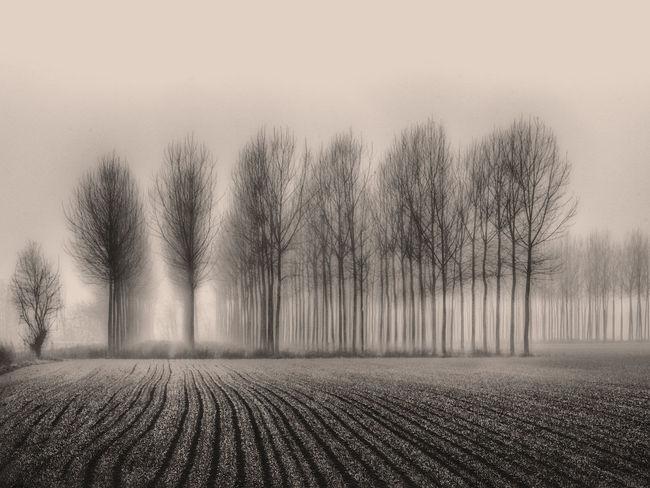 Light Misty Morning Blackandwhite Photography Fog Foggy Misty Morning Poplars