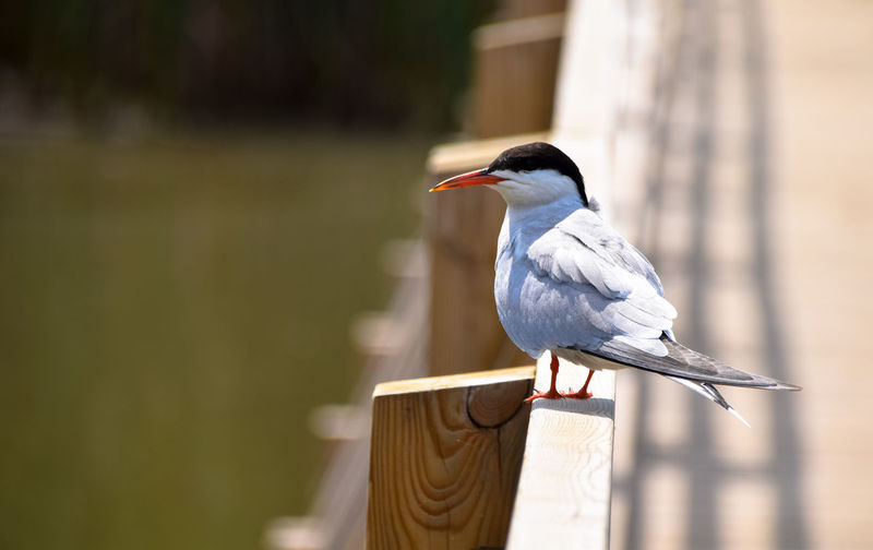 Tern Perching On Railing By River