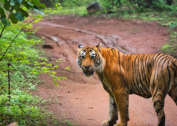 View of a male tiger in national park