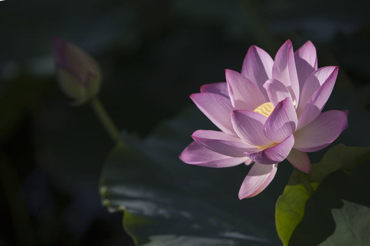 Flower Head Flower Lotus Water Lily Lake Pink Color Water Lily Petal Beauty Purple Close-up