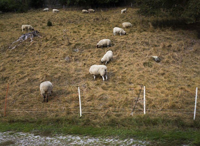 Animal Themes Autumn Countryside Domestic Animals Field Herd Landscape Livestock Meadow Nature Non-urban Scene Outdoors Pasture Remote Scenics Sheep Solitude Tranquil Scene Zoology Dramatic Angles