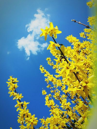 Der Frühling ist da 🌷 Frühling Frühlingserwachen Springtime Spring Is Coming  Gelbe Blüten🌾 Gelb Yellow Yellow Flower Yellow Flowers Spring Frühlingserwachen Forsythie Forsythienblüten