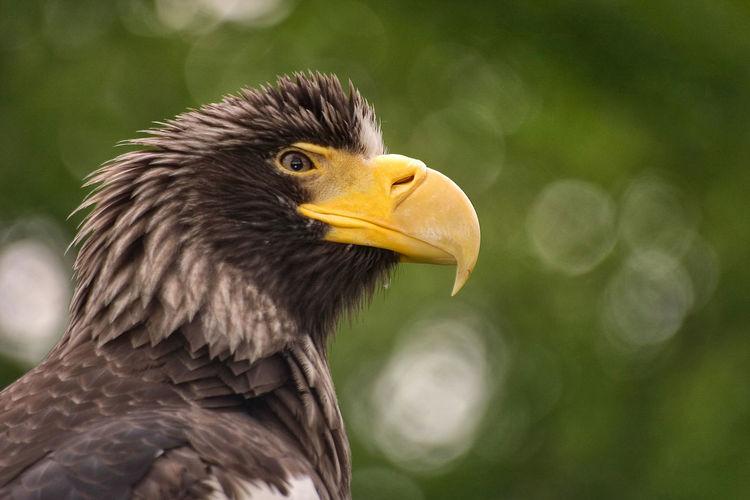 Golden Eagle Beak Eagle Feathers Gesundheitspolizei Riesen-Seeadler Seeadler Vogel Adler Animal Animal Themes Bird Bird Of Prey Golden Eagle HEAD Nature One Animal Raubvogel Riesenseeadler Schnabel Vertebrate Wings