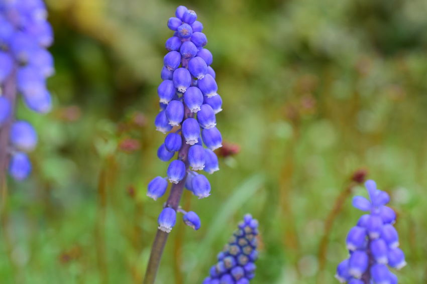 Grape hyacinth Beauty In Nature Flower Focus On Foreground Freshness Grape Hyacinths Hyacinth Nature Plant Springtime