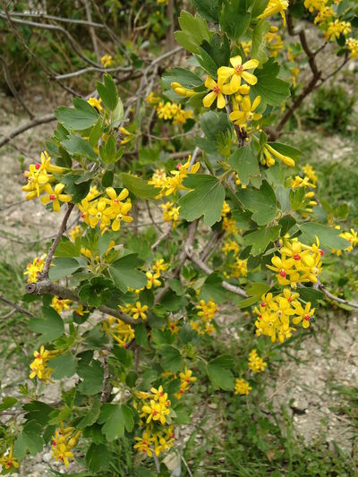 Golden currant. April Blooms Buffalo Currant Clove Currant Currant Flowerets Flowers Golden Currant Golden Flowering Gwen's Buffalo Gwen's Buffalo Yellow Ribes Aureum Spring Trumpet-shaped Flowers Yellow Flowering Yellow Flowers Yellow-flowered