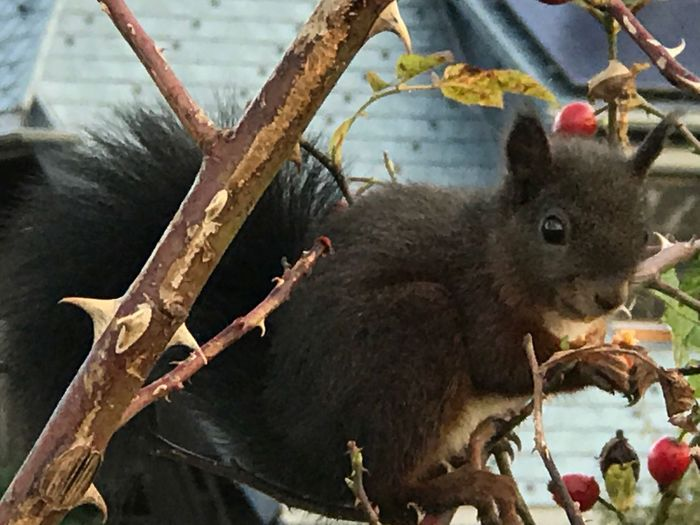 This Morning On My Way To Work Squirrel Eichhörnchen Blackforest Beauty Animal Themes Animals In The Wild Animal Wildlife No People Mammal One Animal Eating Close-up Day Outdoors Food Nature