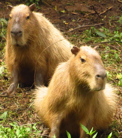the biggest rodent called Capibara Capibara Animal Themes Animal Wildlife Animals In The Wild Close-up Day Field Grass Mammal Nature No People One Animal Outdoors Rodent Sitting Young Animal