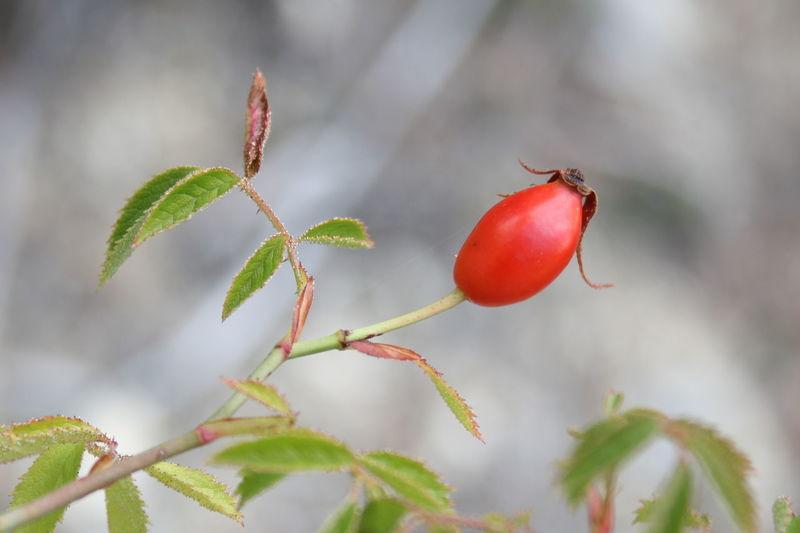 Rose hip Drôme