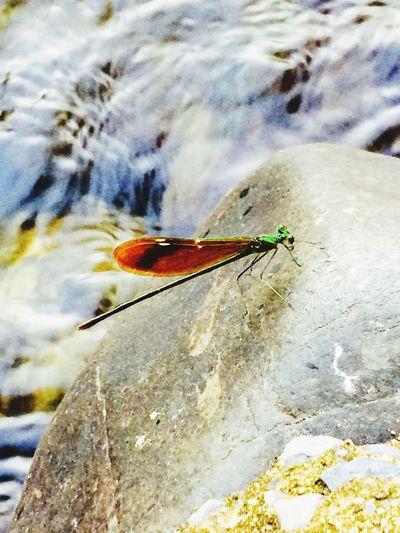 Dragonfly in Thailand