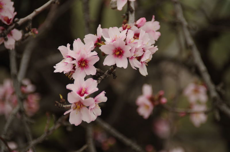 Almond flowers on a twig Almond Almond Blossom Almond Twig Blossom Flower Focus On Foreground Freshness Pink Color Springtime Tree Twig