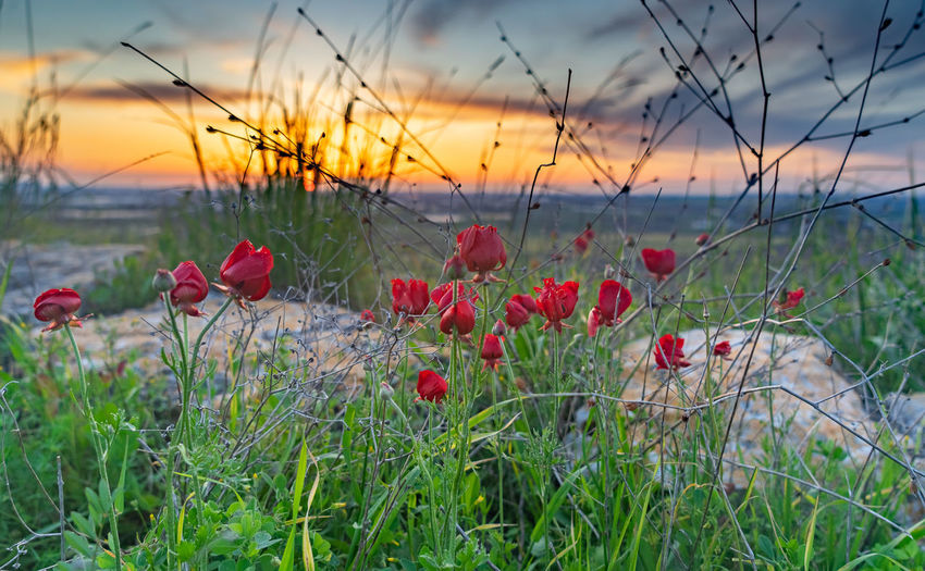 Flowering plants on field against sky during sunset