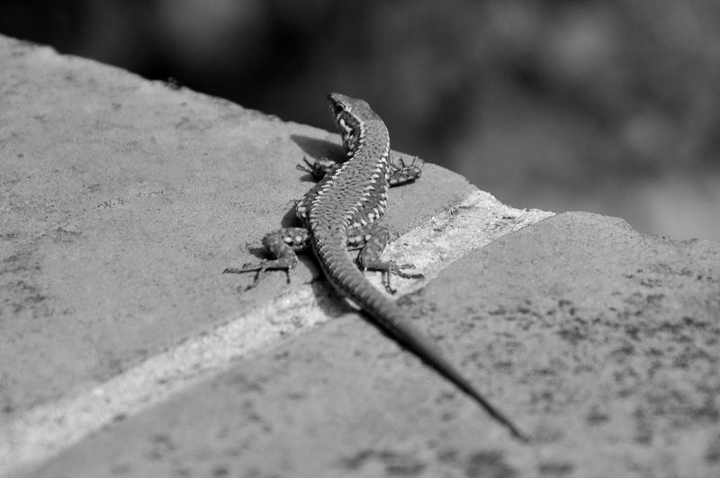 Black & White Contrast And Lights Light & Shadow Salamander Salamandras Animal Animal Body Part Animal Themes Animal Wildlife Animals In The Wild Close-up Day Insect Invertebrate Lizard Nature No People One Animal Outdoors Reptile Rock Rock - Object Selective Focus Solid Vertebrate