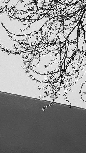 Hurrah ! Spring Is Coming ! First Flowered Tree First Flowers Of Spring Background Geometric Lines Walking Around Taking Pictures Blackandwhite Photography