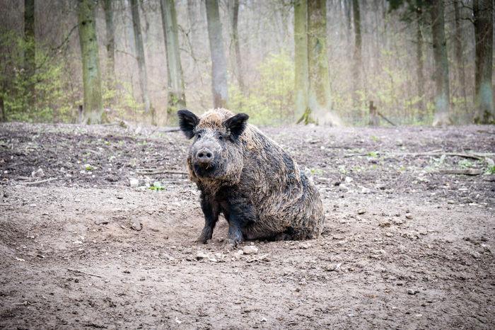 Animals In The Wild Nature Nature Photography Wildlife & Nature Wood Naturelovers Pig Wilderness Wildlife