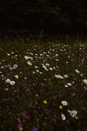 Close-up of purple wildflowers in field