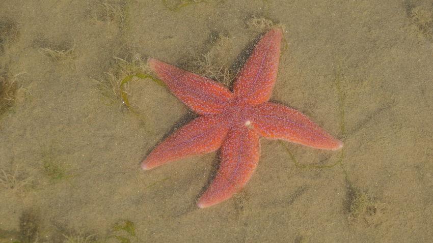 Animal Themes Beach Close-up Nature No People One Animal Sea Sea Life Starfish  In Zealand, Netherland Sand Sand & Sea Oceanlife