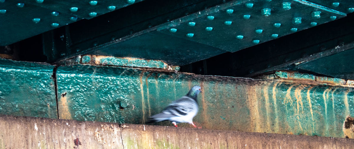 Under The Railway Bridge Vertebrate One Animal Bird Architecture Animal Wildlife Animals In The Wild No People Built Structure Blurred Motion Motion Metal Outdoors Day Wood - Material Mammal Nature Cat Pidgeons