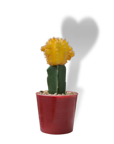 Close-up of cactus flower pot against white background