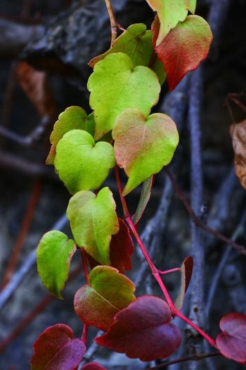 Heart Shape Vine - Plant Branch Leaf Tree Red Close-up Plant Vine