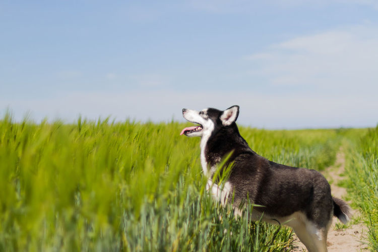 One Animal Animal Animal Themes Mammal Plant Grass Domestic Animals Domestic Pets Side View Land Field Nature Dog Sky Vertebrate Canine Standing No People Looking Mouth Open Profile View Husky Siberian Husky