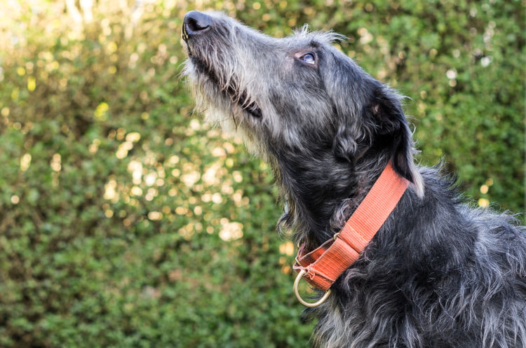 What's up dog ? Animal Nose Animal Themes Deerhound Dog Domestic Animals Grey Hairy  One Animal Pets