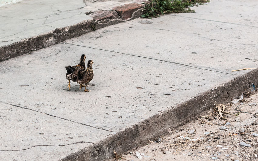 Two small chickens walk side by side on a sidewalk in Las Tunas, Cuba. Chickens Cuba Feathers Sidewalk Adorable Animal Animal Themes Animal Wildlife Animals In The Wild Aww Birds Cute Day High Angle View Nature No People Side By Side