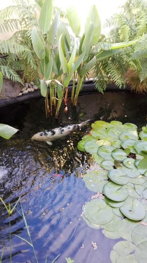 Koi Carp My Fish Pond Water Nature Outdoors Plant Day No People Beauty In Nature Flower Close-up
