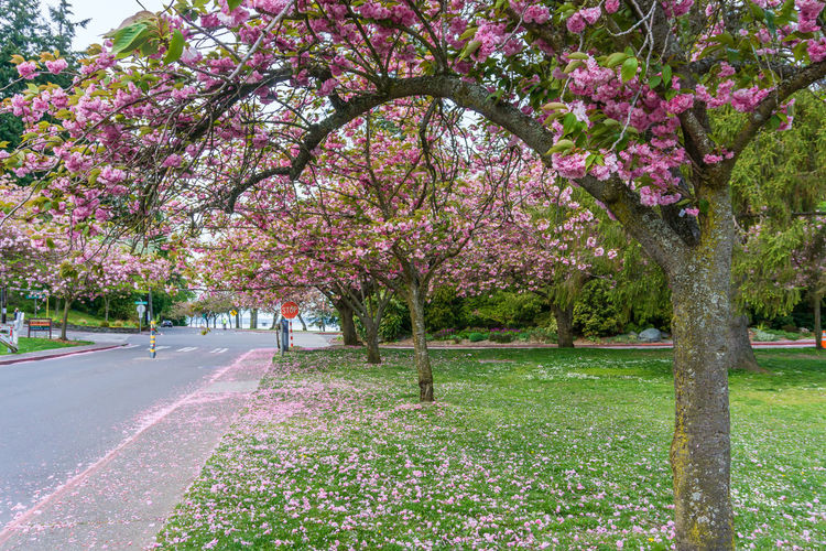 View of cherry blossom trees in park