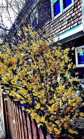 Forsythia in bloom ~ Beautiful Flower In Portland Maine USA Happiness Spring Flowers Nature_perfection Beauty In Nature Springtime No People Nature Lover Color Of Life Loving The Landscape Garden Plants Wooden Fence Bushes And Trees Bright Yellow Flowers Blue Happy Moment Signs Of Spring My Street Close-up Architecture Building Exterior Built Structure In Bloom Tranquility Scenics