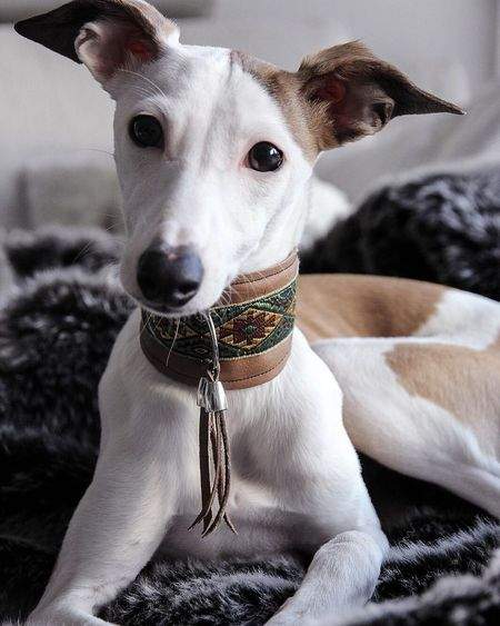 Greyhound Pets Portrait One Animal Looking At Camera Indoors  No People Day Dog Love Dogs Winter Puppy Love Animal Themes First Eyeem Photo Close-up Photo Photography Dog❤ Day