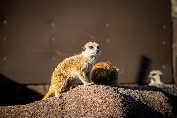 View of meerkat looking away