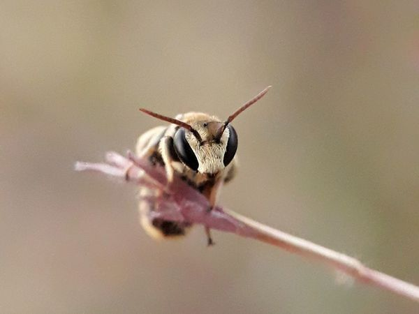 leaf cutter bee Macro Photography Animal Themes Beauty In Nature Close-up Insect Invertebrate Leaf Cutter Bee No People Outdoors