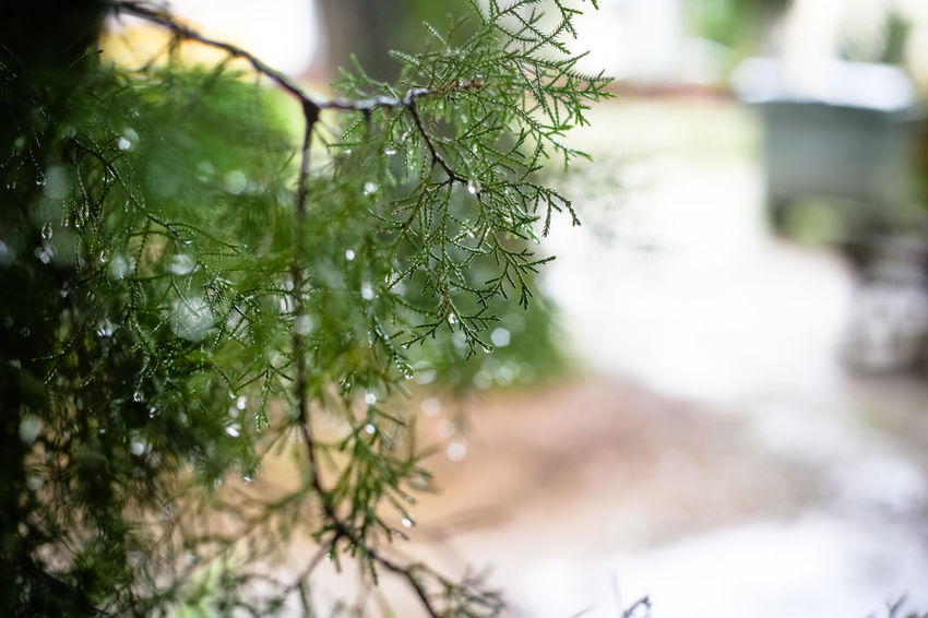 Plant Green Color Focus On Foreground Tree Growth No People Day Close-up Nature Selective Focus Leaf Beauty In Nature Plant Part Outdoors Branch Tranquility Freshness Sunlight Wet Land Coniferous Tree Fir Tree