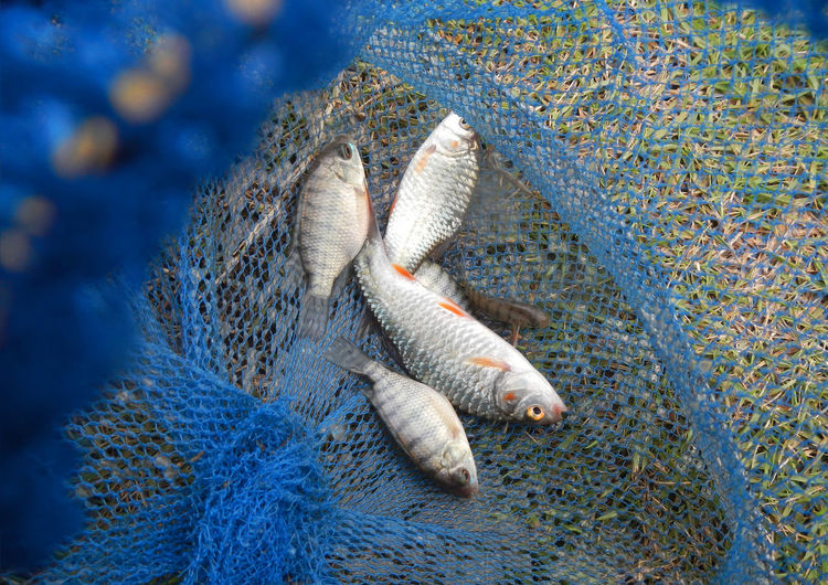 Freshwater Fish on the nets Animal Animal Themes Close-up Economy Find Food, Fish Fishing Food Fresh Food Health Horizontal Industry Nature Net No People Outdoors Wildlife