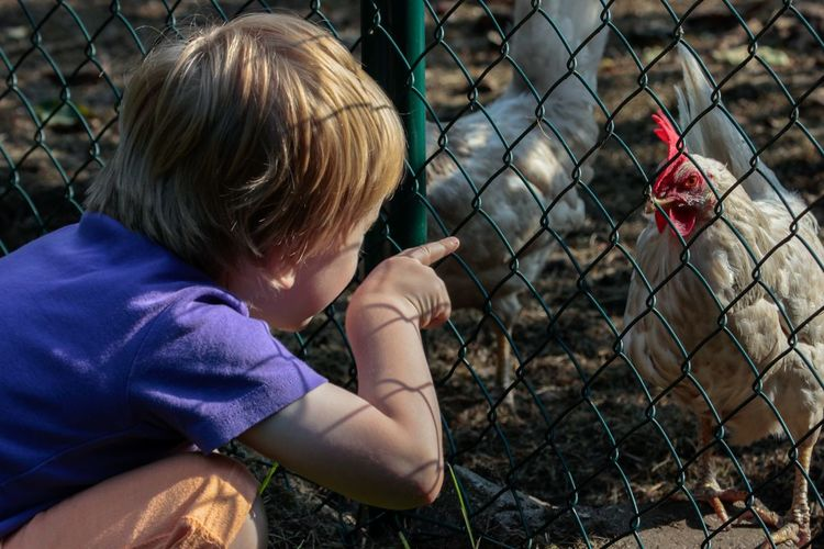 Side view of boy looking at chicken through fence
