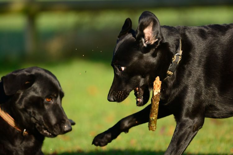 Close-up of black dogs fighting on field