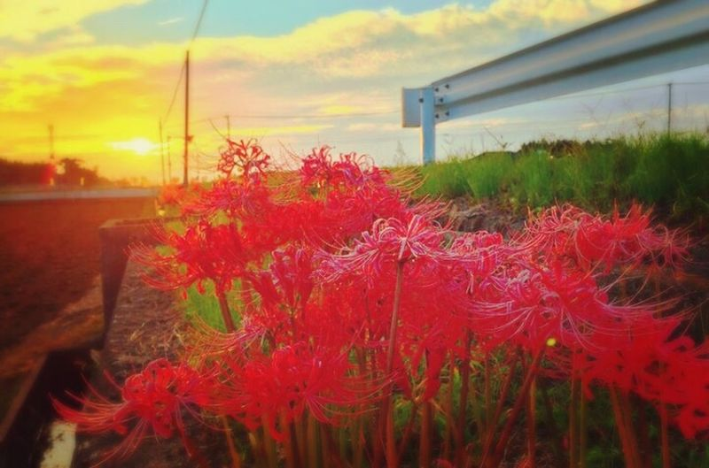 Red Red Spider Lily Sunset Sunset #sun #clouds #skylovers #sky #nature #beautifulinnature #naturalbeauty #photography #landscape Presioustime
