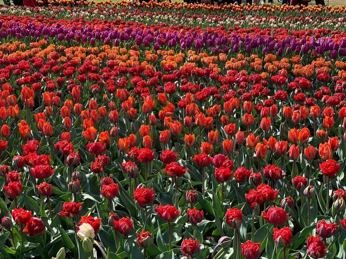 Full frame shot of red tulip flowers on field