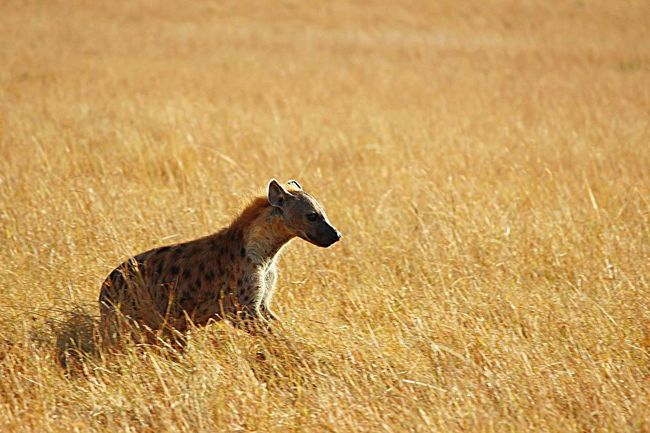 Kenya Safari Hyena Africa Wildlife Masai Mara Run