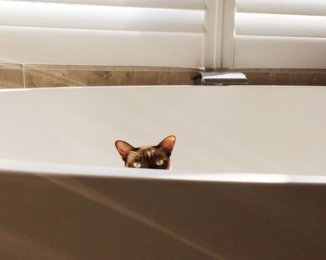 Portrait Of Cat In Bathtub