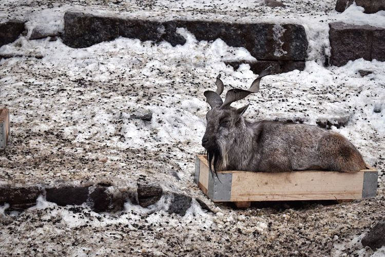 Good night! 🙋🏻 this goat reminded me of cats who like to sit in boxes 😸😸😹 Animal Themes One Animal Mammal Animals In The Wild Day Rock - Object No People Outdoors Nature Field Goat In The Box Goats Animals Animal Animal Photography Zoo Always Be Cozy