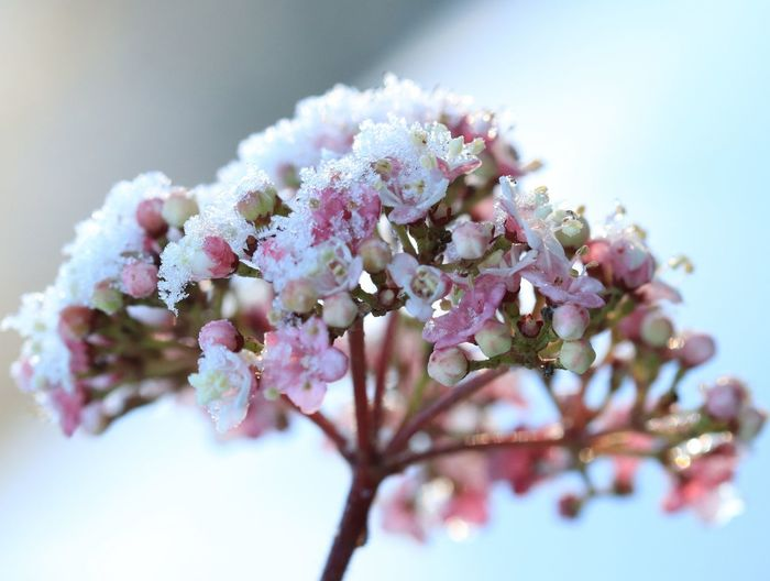 beautiful winter macro Flower Flower Head Tree Snow Winter Springtime Branch Cold Temperature Beauty Close-up Cherry Tree Stamen Twig Plant Life Cherry Blossom Blossom In Bloom Botany Blooming Petal Bud